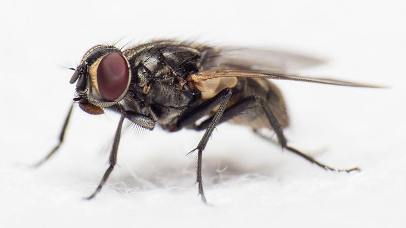 Up close photo of a fly