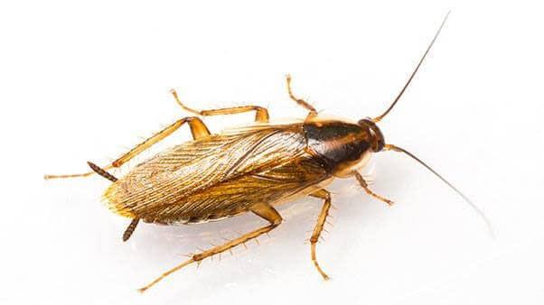 German cockroach or kitchen cockroach