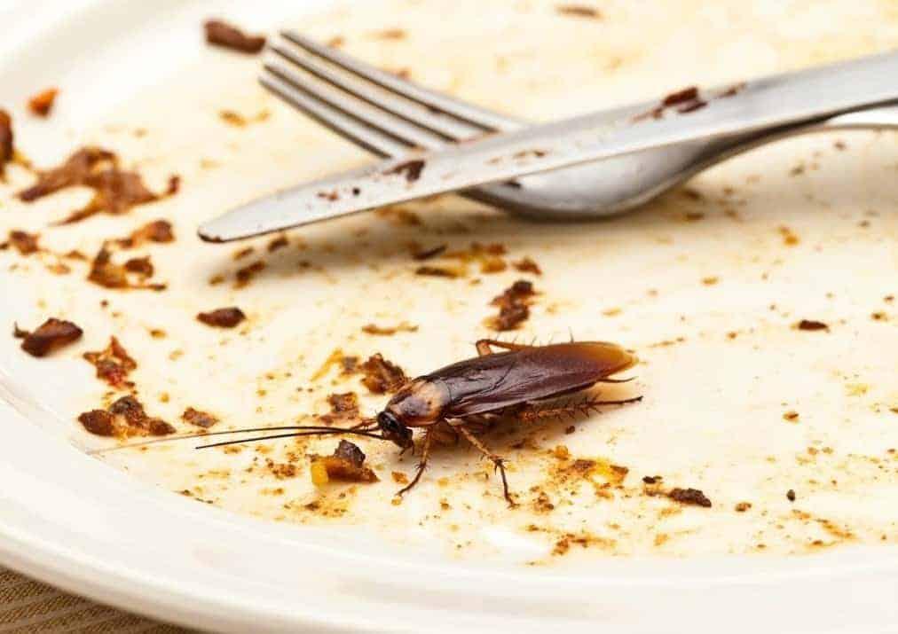 Cockroach feeding on a dirty plate