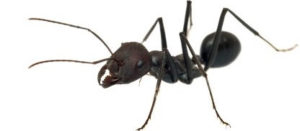 Black house ant. Ant control for restaurants