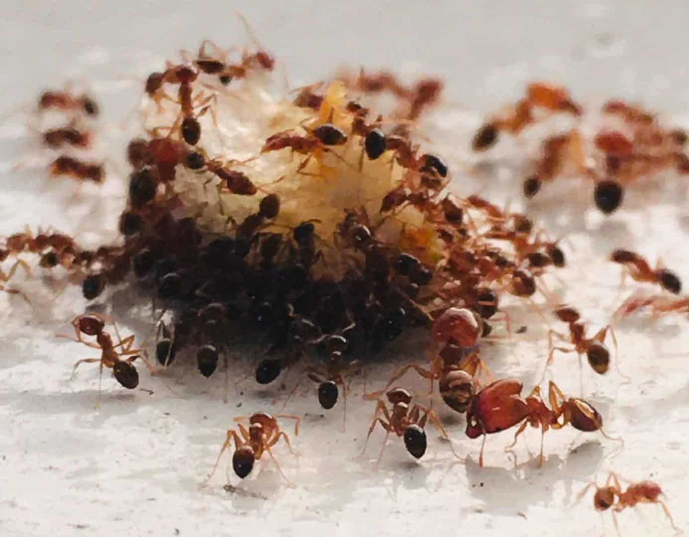 Ants cluster around food. Ant control in restaurants