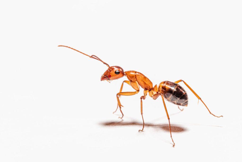 The Pharaoh Ant. Ants in restaurants.