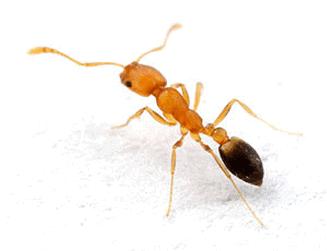 The Pharoah Ant. Ants in restaurants.