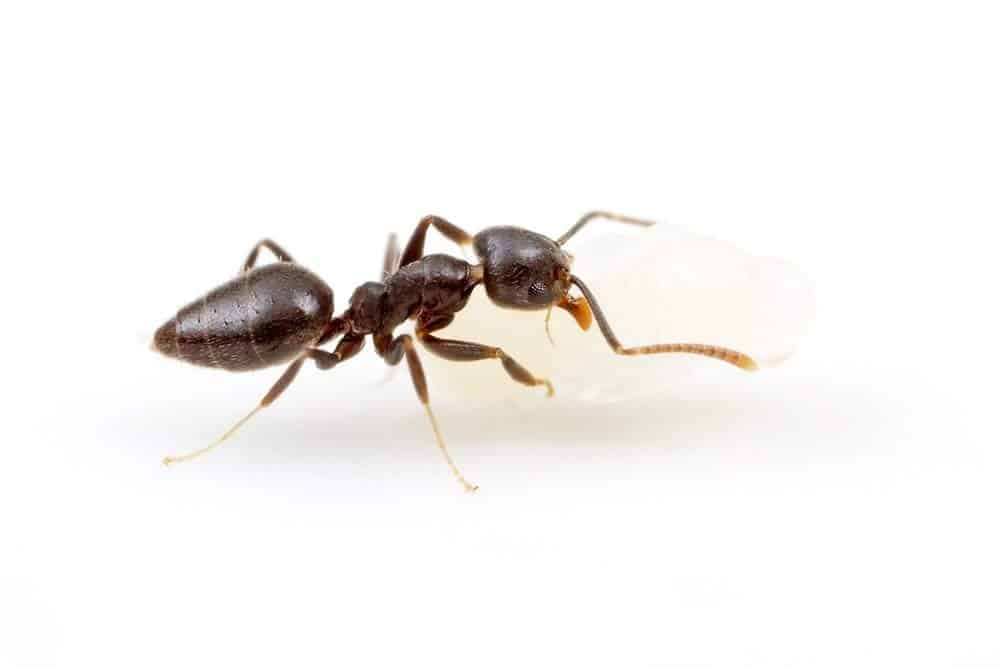 The White Footed Ant. Ants in restaurants