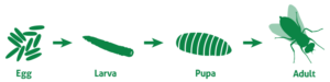 Illustration of the four stages of the flies lifecycle