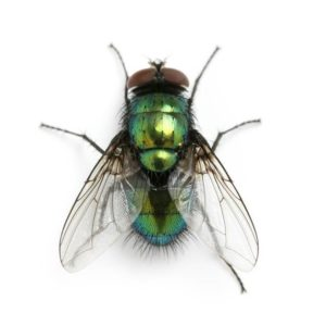 Bright Metallic Green Blow Fly