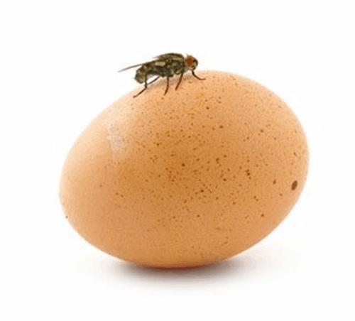 Fly on an egg.